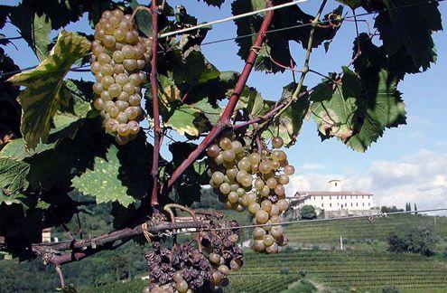 Tocai, EU, wine, Hungary, brand extinction, Countess Aurora Formentini, European Court of Justice