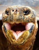 The hyper-endangered Galapagos tortoise.