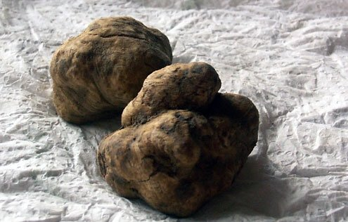 Tuberous fungi grow near the roots of trees predominately around the town of Alba in Piedmont.
