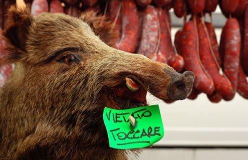 Cinghiale, wild boar, are scared into the open.