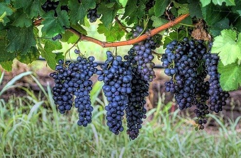 Virtually all of the Sagrantino grown in the world is grown in the village of Montefalco.