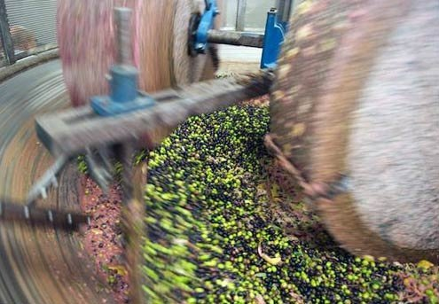 In Le Marche, the olive harvest lasts from October to December.