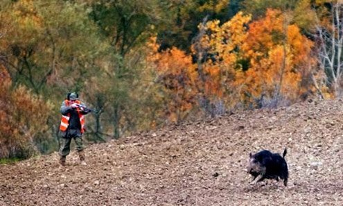 Wild boars are great consumers of local agriculture.