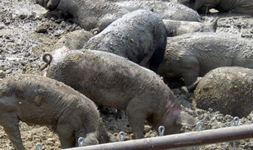 How to handle hog waste has become a controversial subject.