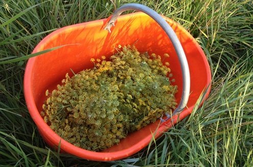 Fennel flower liqueur takes months to make, but it's worth the wait.