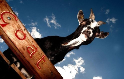 Goats are anything but cute and sweet.